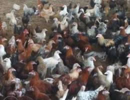 Sale of chicken