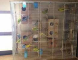 Lovebirds for sale with cage