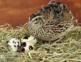 بيع بيض السمان