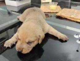 German Short hair and wired hair puppies a...